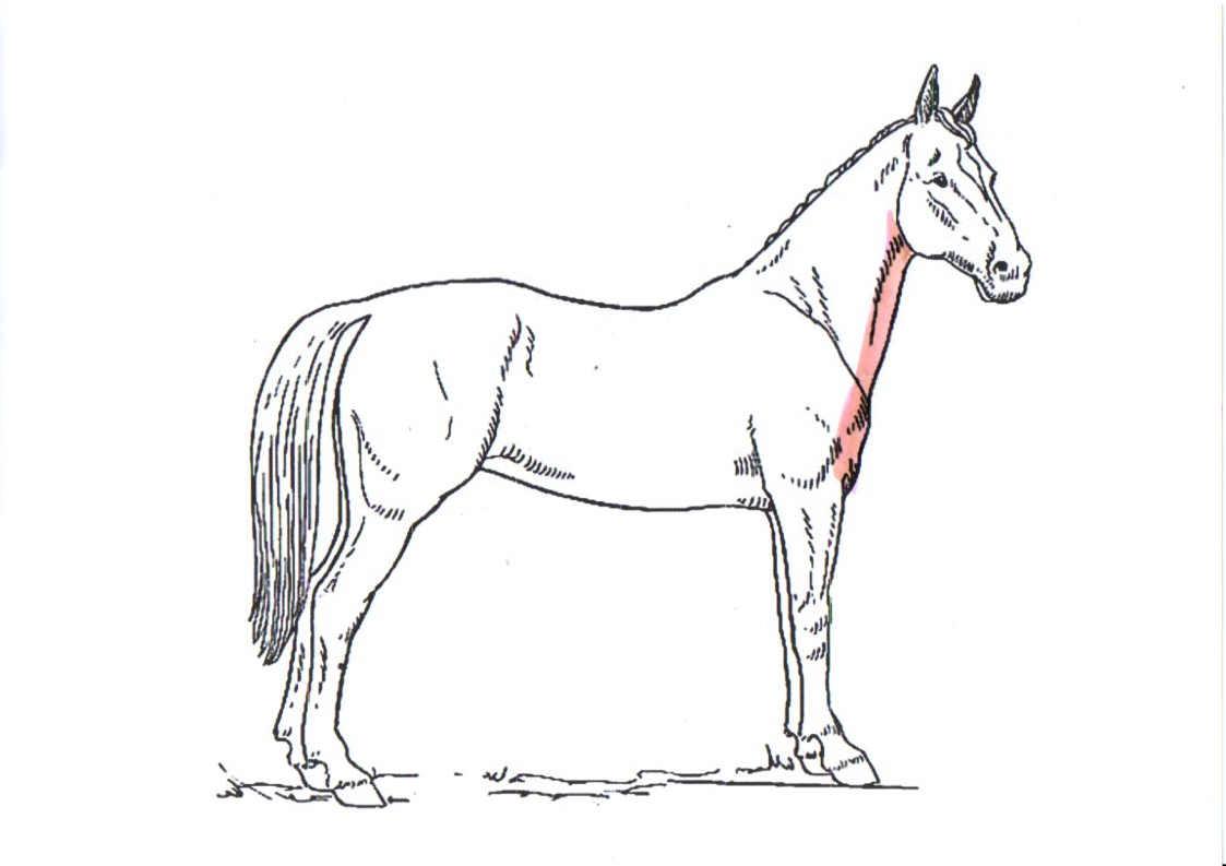 pferd-schermuster-bib