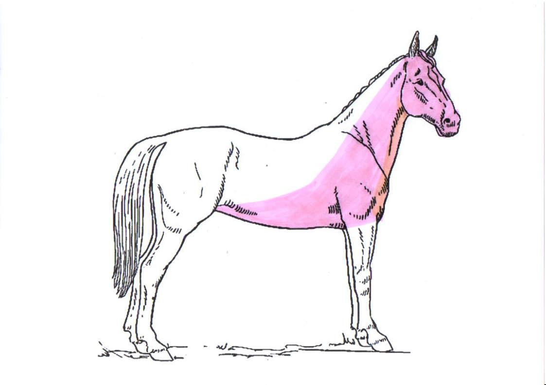 pferd-schermuster-irish-schur