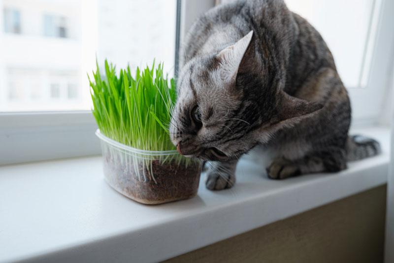 Katzengras-gegen-Haarballen